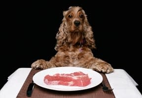 Cocker Spaniel dines on raw meat dinner rich in live ezymes