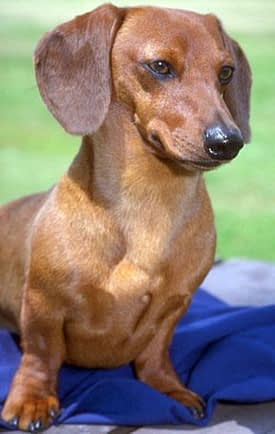 Smooth-haired Dachshund