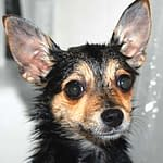Dog Ear Infection-How To Stop It In Weeks For Life