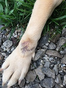 Dog with hot spot on foreleg