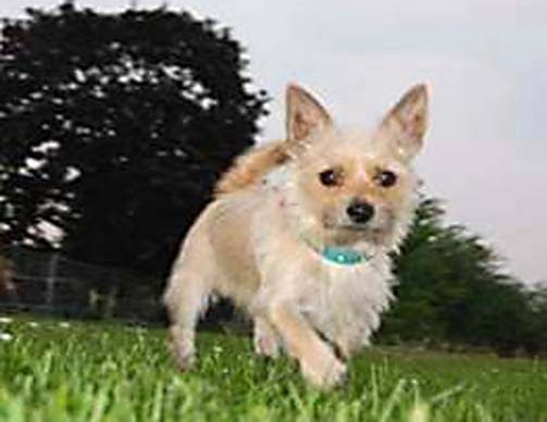 Chihuahua Yorkie mix in the park