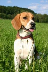 Beagle sitting in field